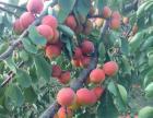 涞水红杏采摘交通方便纯绿色水果