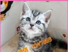 美短英短蓝猫加菲弟弟妹妹寻父母