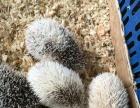 出售 魔王松鼠 蜜袋鼯 刺猬 鹦鹉等其他萌宠