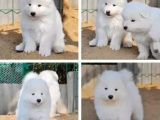 佛山哪里买宠物狗好 选广东旺驰犬舍 专业繁殖高端赛级犬