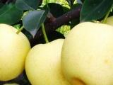 晚秋黄梨树苗种植基地丨山东晚秋黄梨树苗报价丨河南黄金梨树苗
