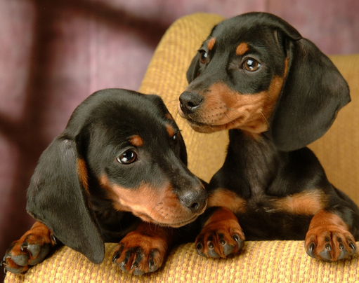 宠物狗腊肠犬活体 狗狗幼犬纯种迷你型家养小型犬