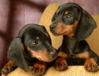 高品质标准小短腿 大耳朵 机灵可爱 腊肠犬幼犬