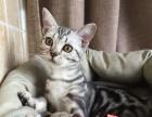 家养高品相美短母猫小猫