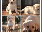 精品拉拉幼犬出售年初特价 支持全国飞 签协议