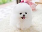 北京狗场出售纯种球体博美幼犬 茶杯俊介杰宠物狗活体北京可送货
