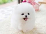 北京出售纯种博美俊介幼犬茶杯子博美迷你型博美活