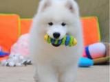 出售纯种赛级双血统活体萨摩耶犬幼犬 家养宠物狗狗雪橇犬大骨架