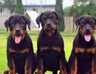 德系大头 罗威纳精品幼犬出售/可来狗场自己选购