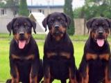 纯种罗威纳犬 经典大头 健康信誉第一适合选购