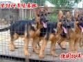 三个月的纯种马犬价格图片
