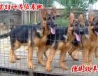 格力犬训练格力犬图片最新格力犬价格