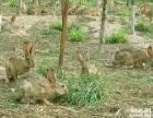 杂交野兔山东杂交野兔养殖场 杂交野兔价格