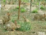 山東種兔養殖技術獺兔最新價格雜交野兔散養技術