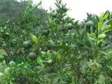 2011苏州西山采摘桔子西山农家桔子采摘