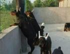 3个月的杜高犬2500元(公母均有)自己家繁育场