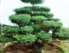 襄阳盆景 麒麟盆景园林,大量供应大型盆景绿植,园林绿化!