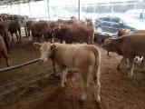 养二十头牛一年赚多少钱