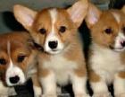 上海最大最权威--专业繁殖纯种 柯基犬幼犬-加微信聊上门半价