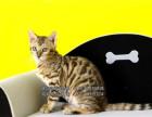 自家猫舍正规繁育的豹猫宝宝疫苗已做保健康