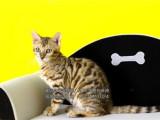 豹猫 包纯种保健康可签协议可上门