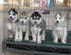 出售三火蓝眼哈士奇雪橇犬,签合同包健康纯种