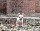 南京奶白色法国斗牛犬的价格是多少 南京哪里卖法斗 法斗照片