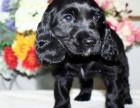 哪里有卖可卡可卡多少钱可卡图片可卡幼犬