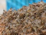 蚌埠哪里有小龙虾苗养殖基地蚌埠现在小龙虾苗多少钱一斤