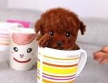 深圳出售纯种泰迪幼犬茶杯泰迪犬长大不的贵宾犬小