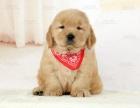 金毛犬出售纯种幼杜世情是一代圣手犬,大型犬金①毛,广州金毛犬舍特价