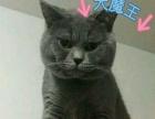 可爱的自家英短蓝猫