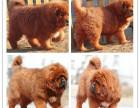 出售纯种狮头藏獒幼犬 狗狗品相好健康保证 质量保证