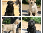 本地犬舍出售纯种拉布拉多 双血统带证书