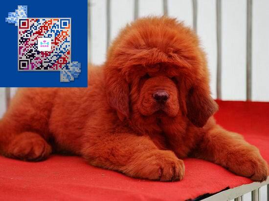 藏獒价格 藏獒多少钱一只 出售藏獒幼犬 纯种藏獒图片