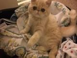 温州 哪里有加菲猫卖 自家繁殖 品相极佳 多只可挑