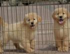 导盲犬金毛忠诚,可爱,聪明,会是你的一生爱犬