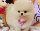 上海胖嘟嘟的脸蛋 圆乎乎的身材 外表乖乖的博美幼犬出售
