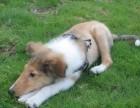 绍兴哪有苏格兰牧羊犬卖 苏格兰牧羊犬价格 苏格兰牧羊犬多少钱