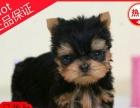 出售纯种约克夏幼犬,保证血统,身体健康