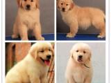 南昌千羽犬舍出售拉布拉多 南昌哪里可以买到拉布拉多