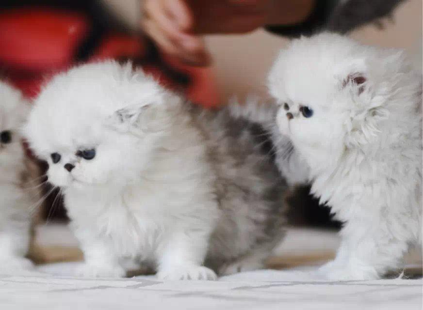 哪里有正规猫舍 金吉拉养殖 金吉拉幼猫转让