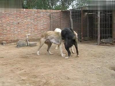 细犬多少钱一只 格力幼犬多少钱一只