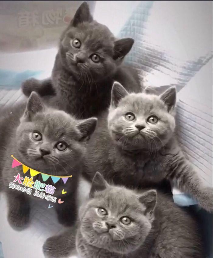 专业一手繁殖 英国短毛猫蓝猫 渐层