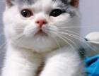 猫舍换血,CFA血统英短蓝白八字成母
