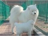 萨摩耶七夕特价丿同城上门挑选狗狗丿外地可以送货上门