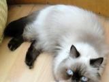 甜美活泼萌宠喜马拉雅波斯猫寻找有爱家庭