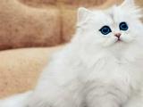 本猫舍繁育各种高端品种猫咪 实惠 颜值高