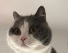自家养的英国短毛猫 蓝白出售