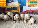 哪里有古代牧羊犬出售 古代牧羊犬多少钱一只 在哪里